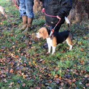 Beagle Kvik