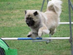 Kiwi til hundesport