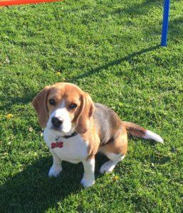 Beagle mor