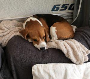 Beagle som nusser