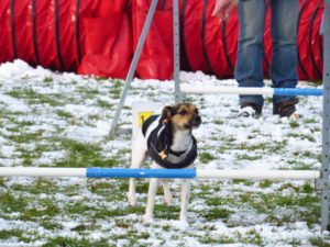 Cleo en Dansk Svensk Gårdhund